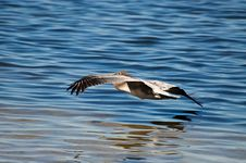 3/4 Rear Shot Of Pelican Flying Over Water Royalty Free Stock Image