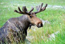 Elk Royalty Free Stock Photography
