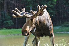Free Elk Royalty Free Stock Photography - 16531127