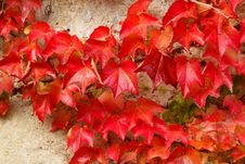 Free Autumn Red Leaves On Stone Wall Stock Images - 16531174