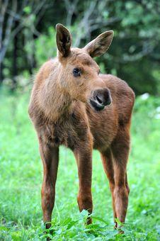 Free Elk Stock Photography - 16531302