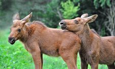 Free Elk Stock Image - 16531321