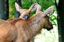 Free Elk Stock Photo - 16531370