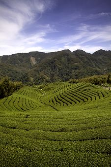 Free Ba Gua Tea Garden In Taiwan Stock Photos - 16532843