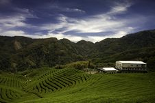Ba Gua Tea Garden In Taiwan Stock Image