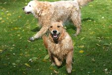 Free Golden Retriever Stock Images - 16533404