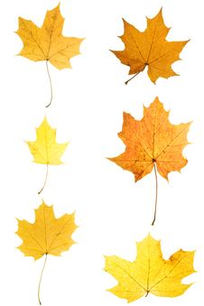 Free Maple Leaves Stock Photo - 16534090