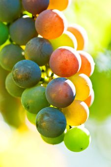 Free Grape Royalty Free Stock Photography - 16534327