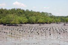 Free Mangrove Forest Stock Photo - 16534740