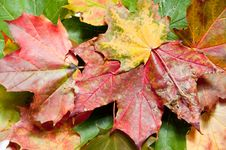 Free Closeup View Of Colorful Fall Leaves Stock Photography - 16534802