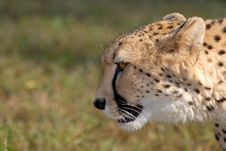 Free Cheetah Stock Image - 16535391