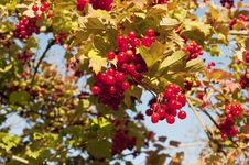 Free Red Viburnum Royalty Free Stock Photos - 16535668