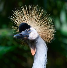 Free African Crowned Crane Stock Photo - 16535950