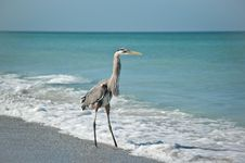 Great Blue Heron On A Gulf Coast Beach Stock Images