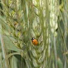 Free Ladybug On Wheat Royalty Free Stock Image - 16536326