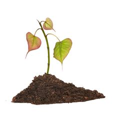 Free Tree Shoot In Soil Stock Images - 16536364