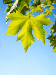 Free Green Leafe  Of Maple In Sunny Day. Royalty Free Stock Photos - 16536798