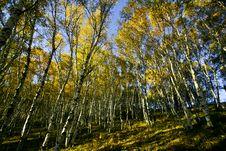 Free White Birch Tree Stock Photos - 16536833