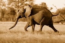 Free Young Elephant Running Away Royalty Free Stock Photo - 16537615