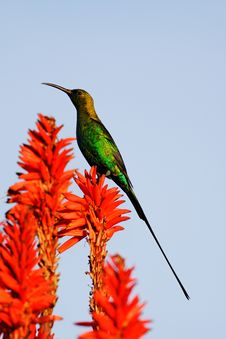 Free Male Malachite Sunbird (Nectarinia Famosa) Royalty Free Stock Photo - 16537775