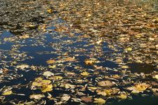Free Fallen Yellow Autumn Leaves Royalty Free Stock Images - 16537929