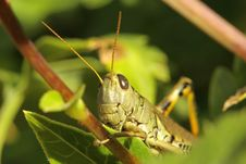 Free Differential Grasshopper Stock Photography - 16539402