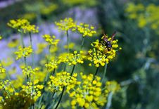 Free Bee On Yellow Flower. Royalty Free Stock Photos - 16539728