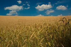 Free Wheat Field Royalty Free Stock Photos - 16539848