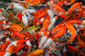 Free Koi Carps In The Pond Royalty Free Stock Photography - 16543037