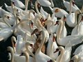 Free Swans Royalty Free Stock Photography - 16546987