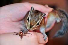 Free Chipmunk Stock Photo - 16540160
