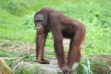 Free Gorilla Stock Photos - 16542233