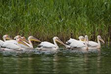 Free White Pelican Flock Stock Photography - 16542252