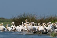 Free White Pelicans Colony Royalty Free Stock Photo - 16542295