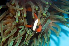Tomato Clownfish Stock Photo