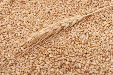 Free Wheat Ear Stock Images - 16542344