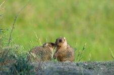 Free Marmot In Meadow Royalty Free Stock Photo - 16542525
