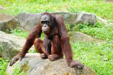 Free Young Gorilla Stock Images - 16542554