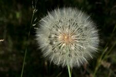 Free Dandelion On Dark Background Stock Photo - 16542870