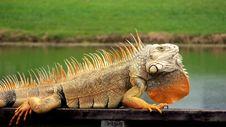 Free Orange Iguana Royalty Free Stock Photos - 16543538