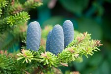Free Fir-cones Royalty Free Stock Image - 16544046