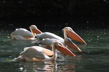 Group Of Great White Pelicans Hunting For Fishes Stock Image
