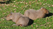 Free Capybaras Royalty Free Stock Photography - 16545077