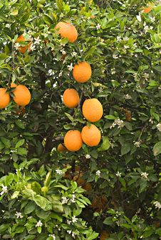 Free Oranges And Flowers Stock Image - 16546071