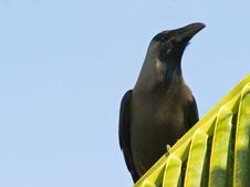 Free Portrait Of The Indian House Crow Stock Photos - 16546983
