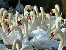 Free Swans Royalty Free Stock Photos - 16547028