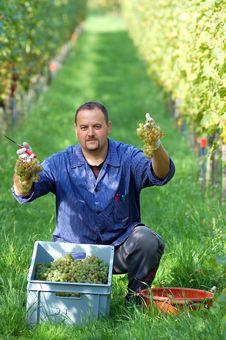 Free Vintner In The Vineyard Stock Photo - 16547220