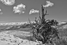 Free Ancient Bristlecone Pine On Mountain Stock Images - 16549064