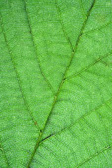 Free Leaf Veins Royalty Free Stock Photo - 16549725