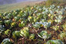 Free Ripe Cabbage Royalty Free Stock Images - 16549909